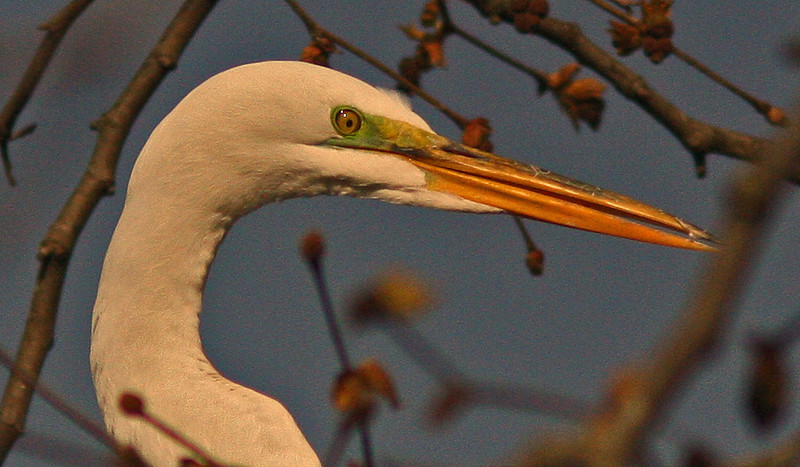 WB~Rookery egret close up tree.jpg
