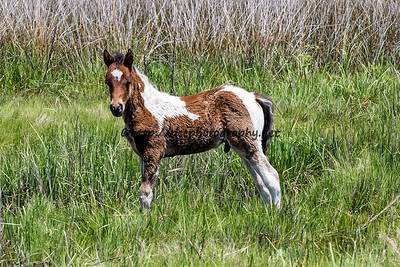 Cody Two Socks' Colt