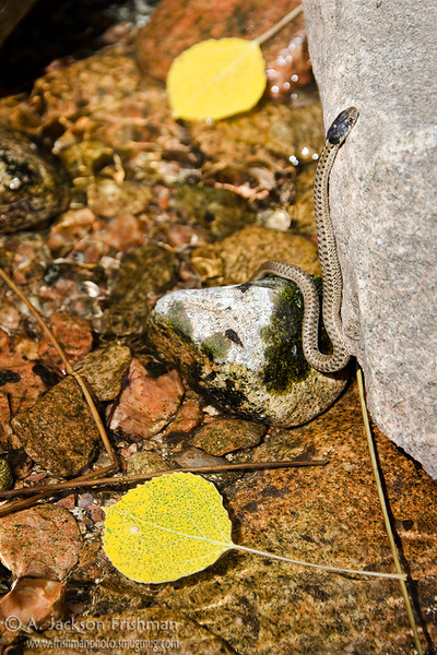 A young snake enjoys the fall aspens in Big Tesuque Creek, Sangre de Cristo Range, New Mexico, September 2011.