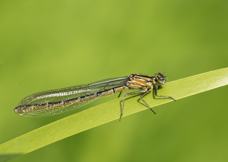Common Blue Damselfly (female)