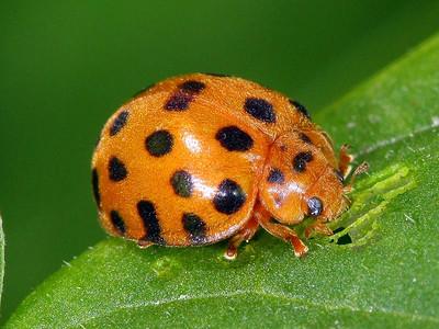 subfamily Epilachninae