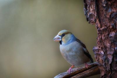 Kjernebiter (Hawfinch)