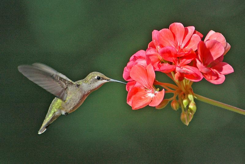 Hummingbird - Ruby-throated - female - Dunning Lake, MN - 01