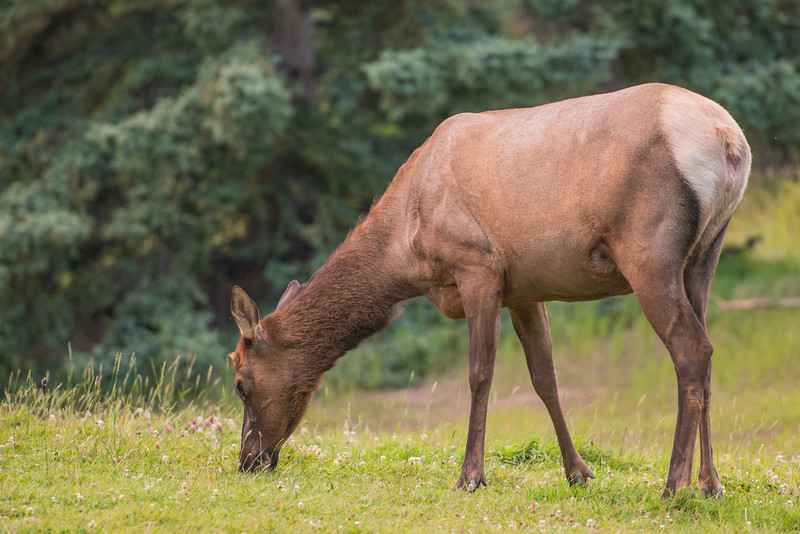 An elk doe grazes near our campsite.  Saw this beauty a couple times while we were there.