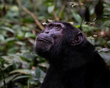 Uganda - Chimpanzees