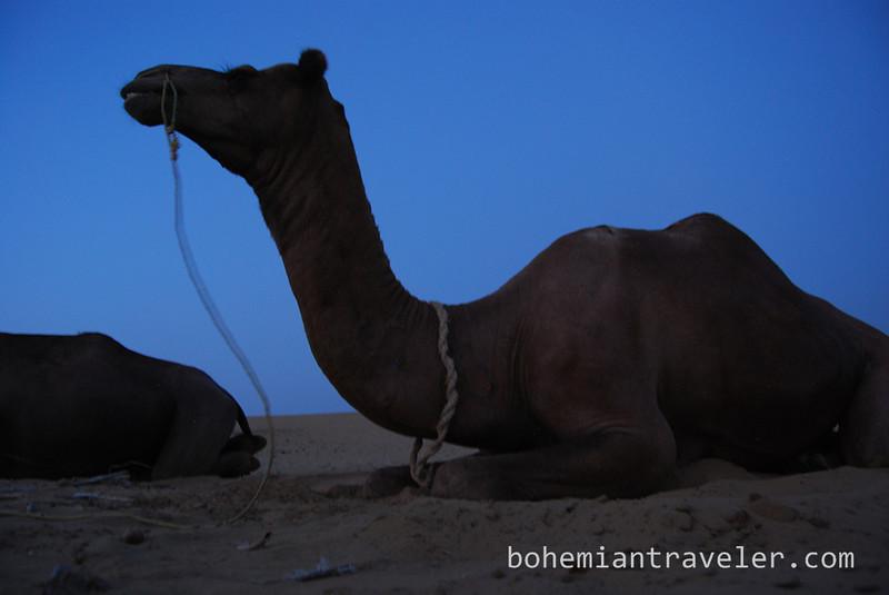 camels resting at night.jpg
