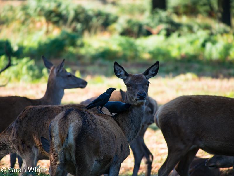 Deer rut_260915_590.jpg
