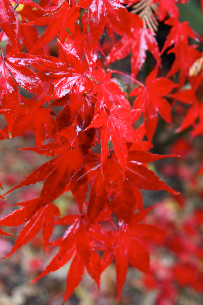 japanese maple  5157.png