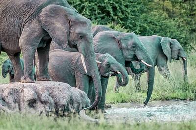 Cape Buffalo, Elephants, Giraffe and Hippopotamus