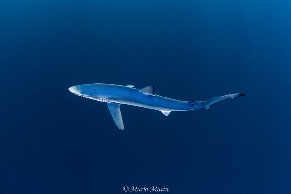 SD Expeditions Blue Sharks