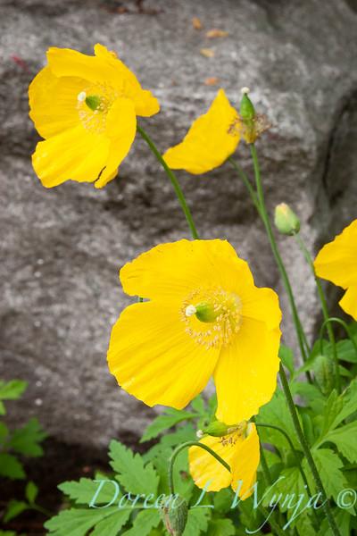 Papaver nudicaule 'Summer Breeze Yellow'_0103.jpg