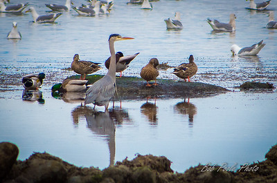 Great Blue Heron and Mallards