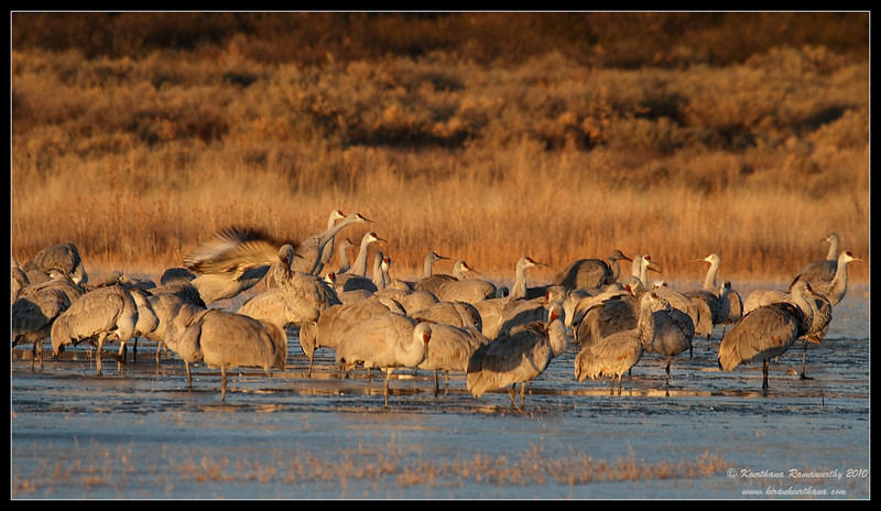 Sandhill Cranes in early morning light on a frozen lake, Bosque Del Apache, Socorro, New Mexico, November 2010