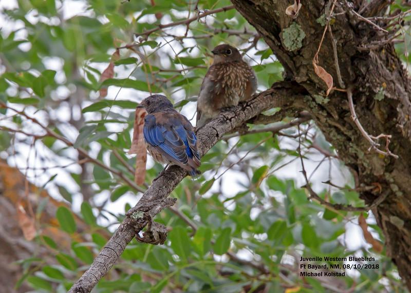 IMG_7365 3T crp juv Western Bluebirds Ft Bayard NM.jpg