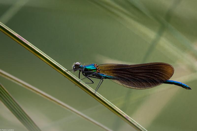Beautiful Demoiselle on Pampas Grass