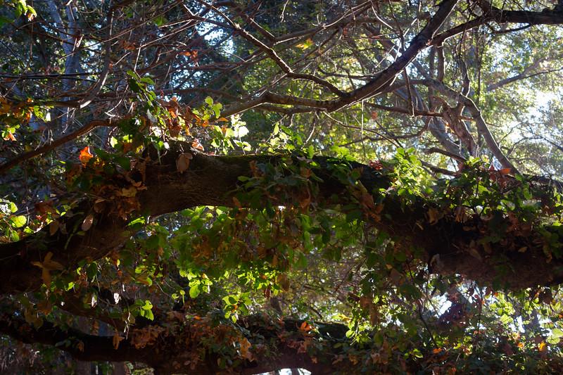 stevens creek trail - branches 2.jpg