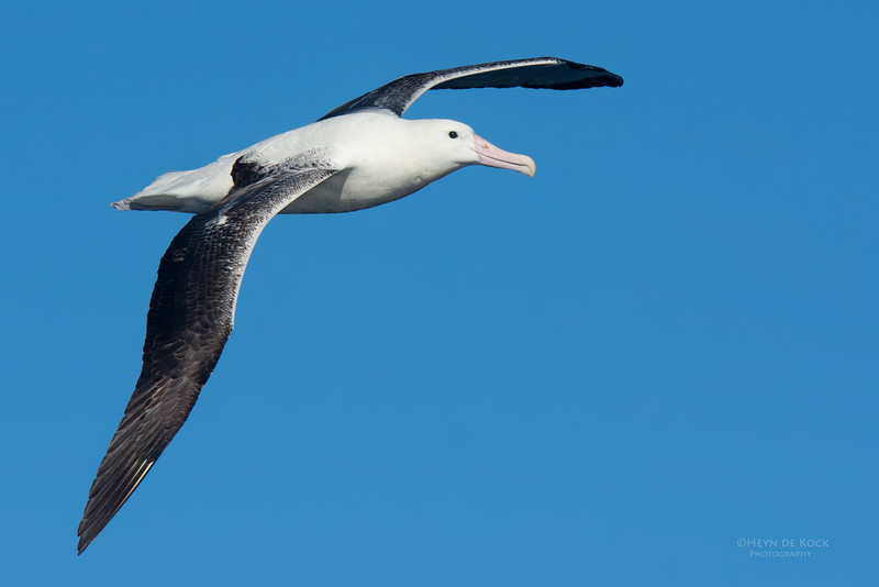 Southern Royal Albatross, Eaglehawk Neck Pelagic, TAS, May 2016-2.jpg