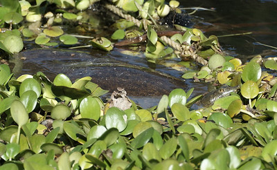 Texas Spiny Softshell Turtle