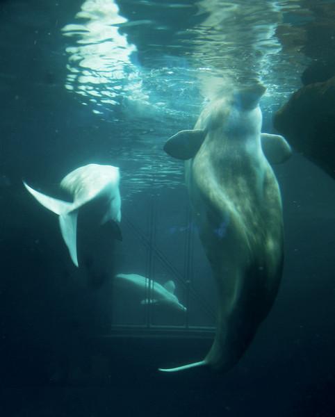 belugaanddolphinsunderwater2 (1).jpg