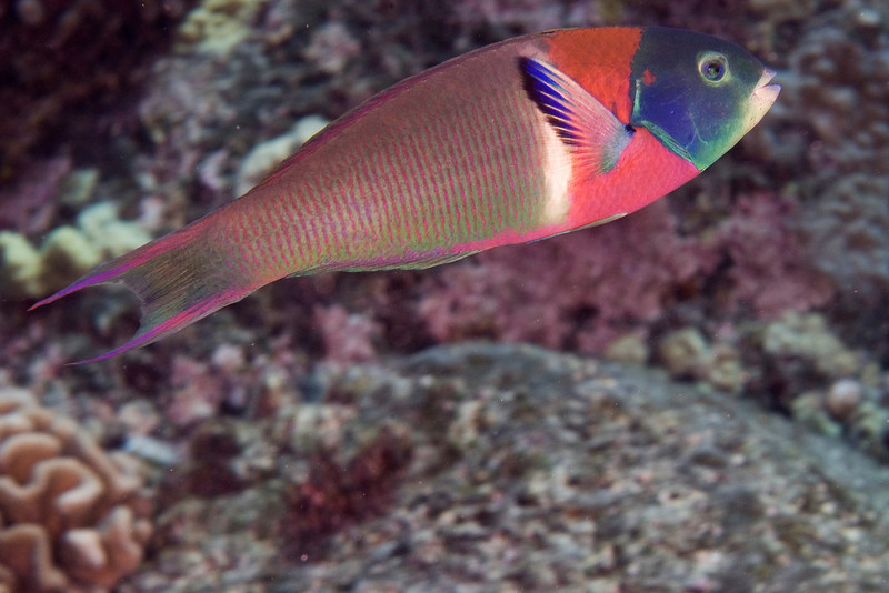 Saddle Wrasse.jpg
