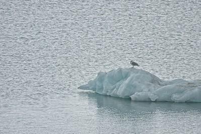 Arctic Puffins & Glaucous Seagulls
