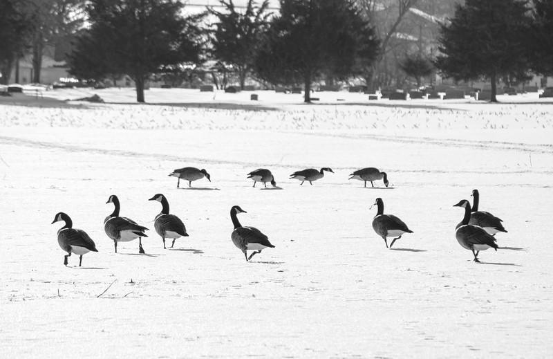 snow - candian geese in field(p, 248).jpg