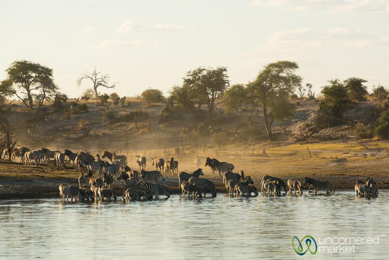 Zebras Down by the Boteti River - Leroo La Tau, Botswana