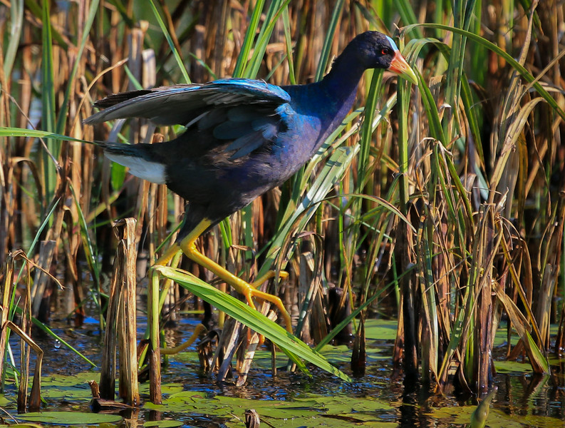 zAnahuac 8-14-14, NEW T3i, 077A, Adult Purple Gallinule (1 of 1).jpg