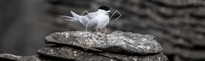 Active tern of the white-fronted tern colony at Pancake rocks, New Zealand.