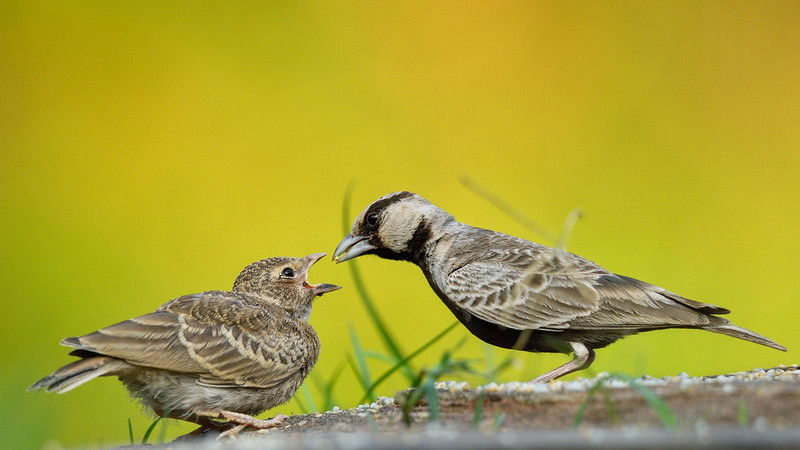 Ashy-crowned-sparrow-lark-feeding-chick-hampi-1.jpg