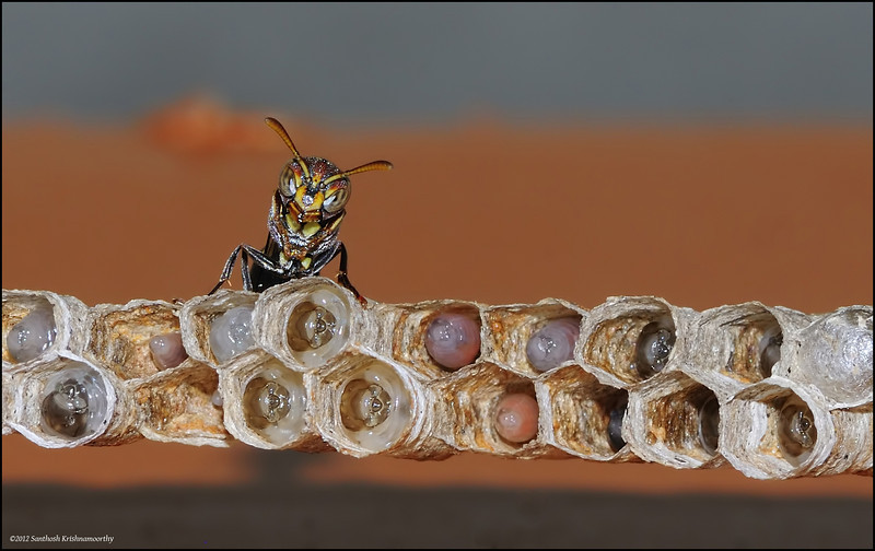 Standing guard... Paper Wasp...