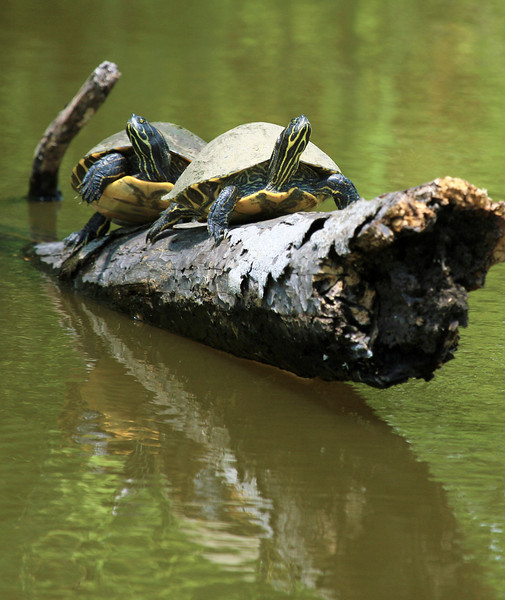 Two hybrid Slider Turtles wonder if they should slide off their log as we pass.