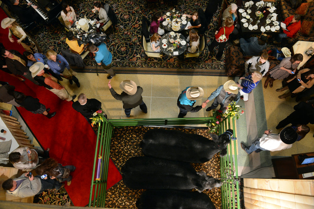 . DENVER, CO. - JANUARY 25:  The National Western Stock Show\'s Grand Champion and Reserve Steers made their annual visit to the Brown Palace Hotel & Spa in Denver, CO, January, 25, 2013. The Grand Champion ,Trevor, weighing in at 1335 lbs. was raised by Shilo Schaake of Westmoreland, KS. The Reserve Grand Champion, Nick, 1275 lbs, was shown by  Jessica Webster of Runnells, IA. The skittish champions were also joined by a third steer, Willie, raised by Lauren May, of Mineral Point, WI, for moral support. (Photo By Craig F. Walker / The Denver Post)