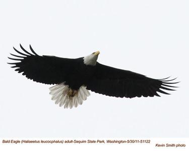 BaldEagleA51122.jpg