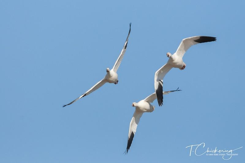 Snow Geese in Flight Seven.jpg
