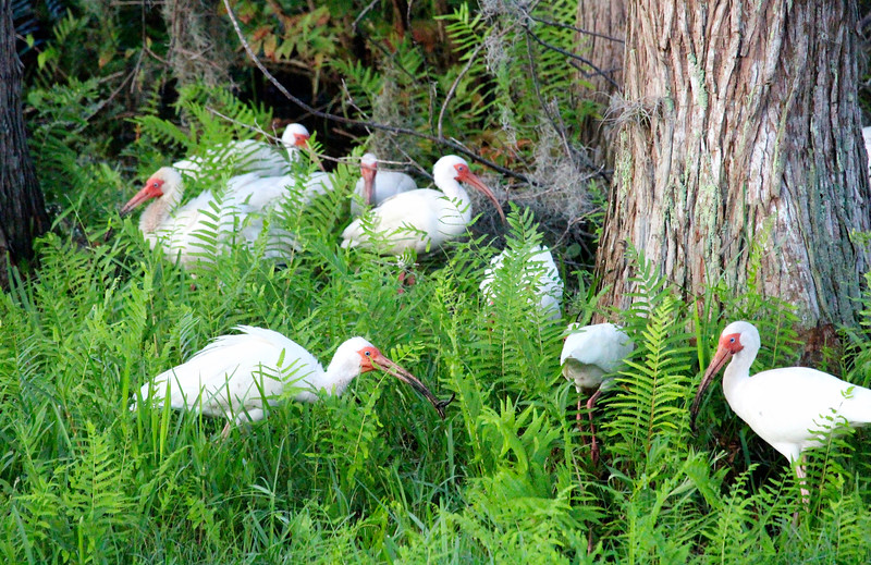 2_17_20 White Ibis Feeding In My Backyard After A Heavy Rainfall.jpg