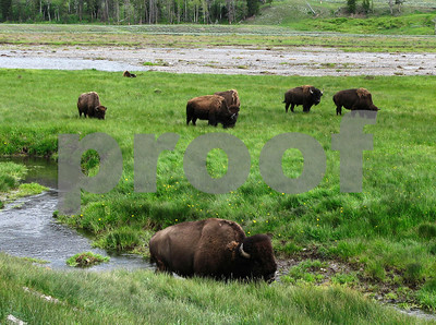 tribes-to-receive-yellowstone-bison-held-by-turner
