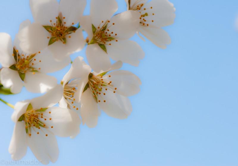 Cherry Blossom-aeamador-0217.jpg