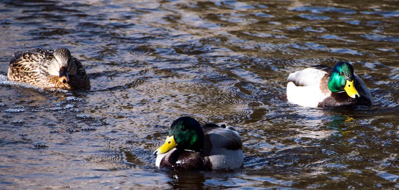 Sun valley ducks.jpg