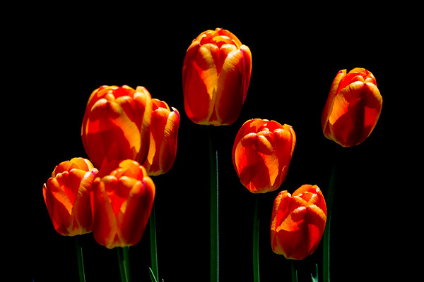 May 26 - Tulips at Robertos, Mammoth Lakes, CA.jpg