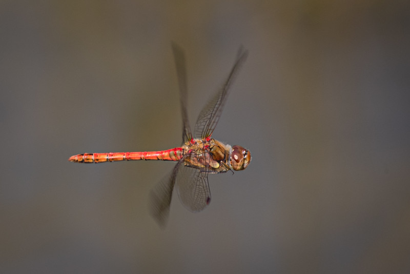 Common Darter in Flight