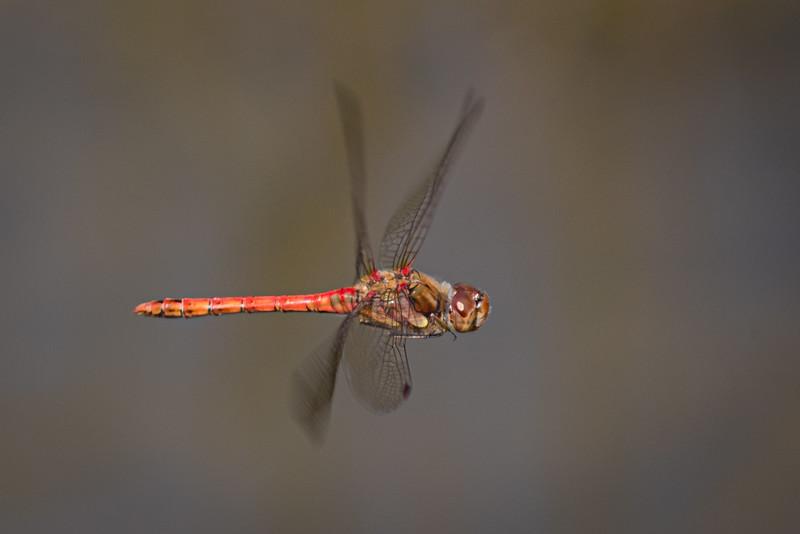 Common Darter in Flight