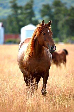 Horses, Mules and Donkeys