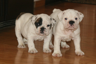 ENGLISH BULLDOG  PUPS born April 8 2008