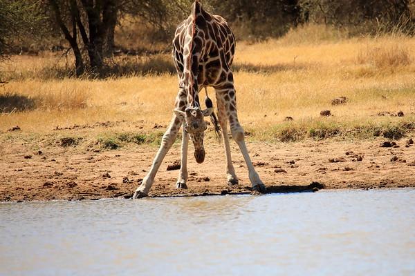Reticulated Giraffe Loisaba Kenya 2018