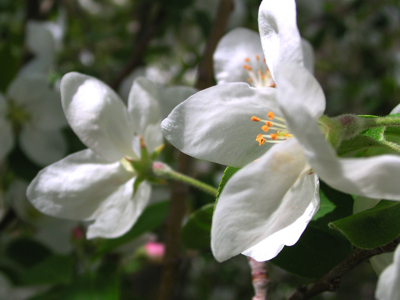 white bloom70.JPG