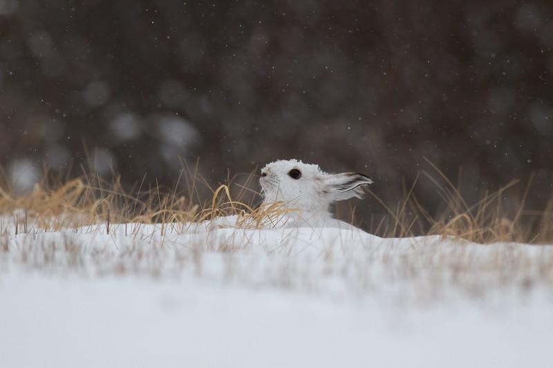 Snowshoe Hare Lepus americanus CR52-Arkola Sax-Zim Bog MN IMG_0002115.jpg
