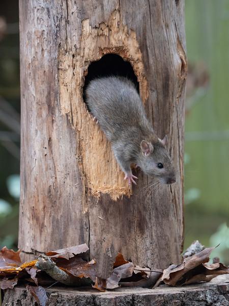 The Brown Rat Hideaway