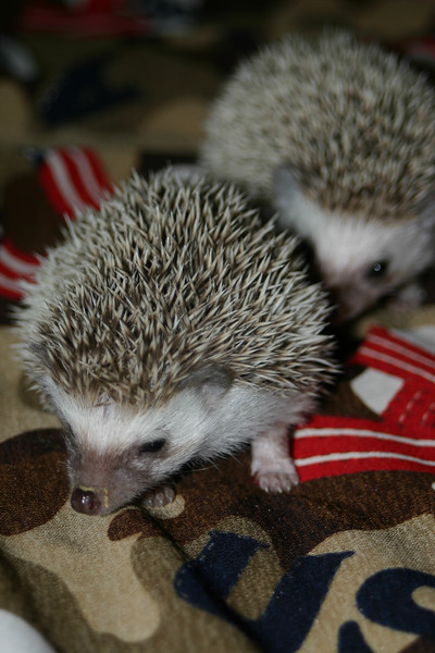 Litter - SCSI and Orianna (02/03/2005)  Litter - SCSI and Orianna (02/03/2005)  Filename reference: 20050306-235830-HAH-Hedgehog_Babies