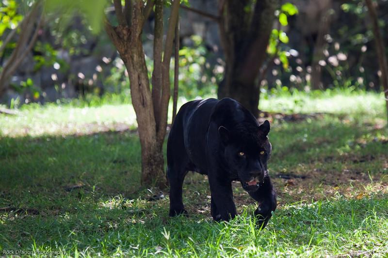 A black jaguar at the Xcaret Ecological park.